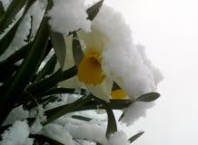 Narzisse und Schneefrühling Lizenzfreies Stockbild