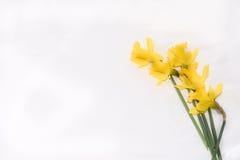 Narzissen-Bündel auf weißem Hintergrund Stockfoto