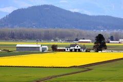 Narzissen-Bauernhof im Frühjahr Lizenzfreies Stockbild