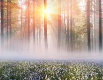 Narzissen bei Sonnenaufgang stockfotografie