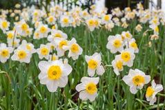 Narzissen-Blume Stockfotografie