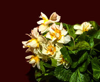 Narzissen-Blume lizenzfreie stockfotografie