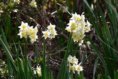 Narzissen-Blume stockbild