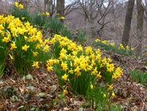 Narzissen-Central Park Stockfotografie