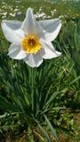 Narzissen, daffodils Στοκ Φωτογραφίες