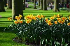 Narzissen in einem sonnigen Park Lizenzfreie Stockfotografie