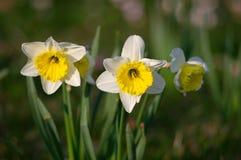 Narzissen im Frühjahr stockfotografie