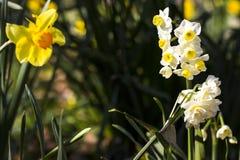 Narzissen im Frühjahr Lizenzfreie Stockbilder