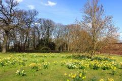 Narzissen im Frühjahr an einer englischen Landschaft Lizenzfreie Stockfotos