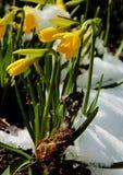 Narzissen im Schnee Stockbild