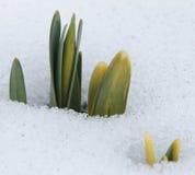 Narzissen-Knospen, die durch den Schnee hochdrücken Lizenzfreie Stockfotos