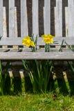 Narzissen stehen durch eine hölzerne Lattenbank - Porträt hervor Stockfoto