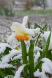 Narzissen unter Schnee - Abweichung Lizenzfreies Stockbild