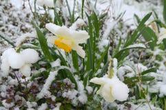 Narzissen unter Schnee - Abweichung Lizenzfreies Stockfoto