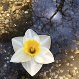 Narzissenblüte, die in einen Teich schwimmt Lizenzfreie Stockfotos