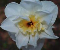 Narzissenblütenflorablume der Rosen-Frühlingssommerblumenblattnahaufnahme pflanzen blühende weiße Narzissennarzissen der grünen B Lizenzfreie Stockfotos