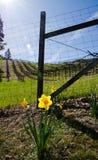 Narzissenblume gegen den Zaun Stockfotografie