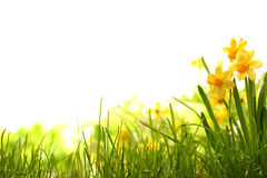 Narzissenblumen auf Wiese Stockbild