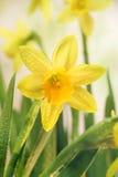 Narzissenblumen und Grünblätter Stockfotos