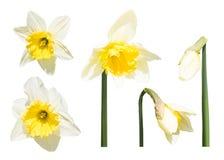Narzissenblumen und -knospen lokalisiert stockfotos