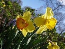 Narzissus stock foto's