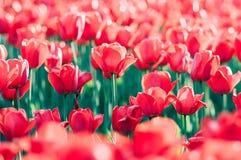 Nasłoneczneni czerwoni tulipany w ogródzie zdjęcia royalty free