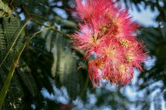 Nasłoneczneni piękni różowi kwiaty kwitnąca akacja zdjęcie royalty free