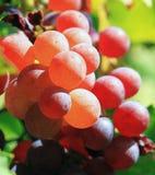 Nasłoneczneni winogrona przy winnicą Obraz Royalty Free