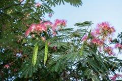 Nasłoneczniona kwitnąca akacja z menchia kwiatami i zieleń strąkami zdjęcie stock