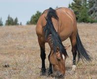 Nasłonecznione Dzikiego konia Grulla szarość barwili Kobyliego odprowadzenie w górę Sykes grani nad Teacup puchar w Pryor górach  Zdjęcia Royalty Free