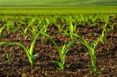 Nasłonecznione młode kukurydzane rośliny Obrazy Stock