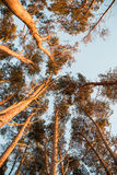 Nasłonecznione wysokie sosny fotografia stock