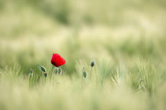 Nasłoneczniony Czerwony Dziki maczek, Strzelają Z Płytką głębią ciętość, Na tle Pszeniczny pole Krajobraz z maczkiem Wiejska fabu zdjęcia royalty free