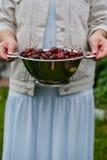 Nas mãos da menina um grande escorredor de cerejas frescas Uma colheita nova das cerejas com água deixa cair Foto no jardim Fotografia de Stock