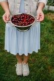 Nas mãos da menina um grande escorredor de cerejas frescas Uma colheita nova das cerejas com água deixa cair Foto no jardim Fotografia de Stock Royalty Free
