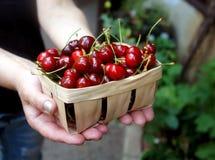 nas mãos mantém uma cesta completa de cerejas doces fotografia de stock