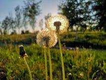 Nasłoneczneni dandelions fotografia royalty free