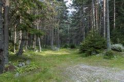 Nasłoneczneni lasowi chojaki w Rila górze Obraz Stock