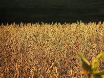 nasłonecznione sojowa Zdjęcia Royalty Free