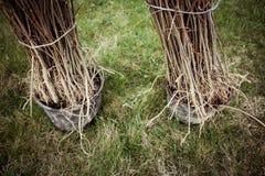 nasadzeń drzew Zdjęcie Stock