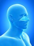 The nasal cavity. Anatomy illustration showing the nasal cavity Stock Image