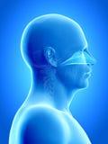 The nasal cavity. Anatomy illustration showing the nasal cavity Stock Photography