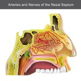 The nasal cavity or nasal fossa is a large air filled space ab Stock Photography
