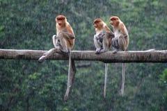 Nasalis larvatus monkey Stock Photos