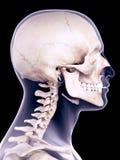 The nasalis transverse. Medically accurate illustration of the nasalis transverse Stock Image