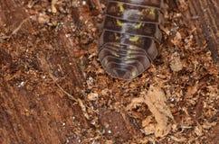 Nasatum Armadillidium мокрицы Стоковые Фото