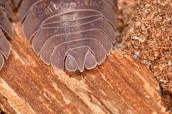 Nasatum Armadillidium мокрицы Стоковое Изображение RF