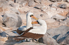Nasca Boobies preening each other Stock Image