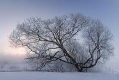 Nascer do sol adiantado sobre uma grande árvore coberta com o hoar em um fie nevado Imagens de Stock Royalty Free