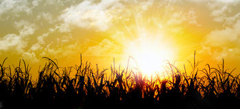 Nascer do sol alaranjado brilhante sobre um campo de milho Fotografia de Stock Royalty Free